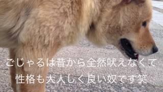アイヌ犬と遊ぶ日常