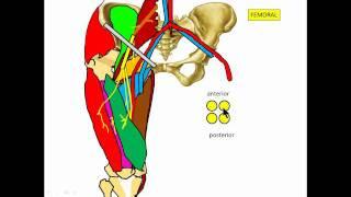 Femoral nervio cardíaco del daño por cateterismo