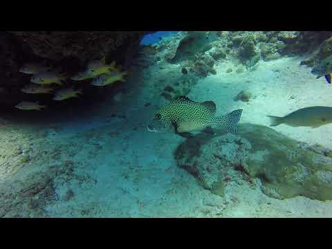 Ворчун и неизвесная редкая рыба Палау 10.2018