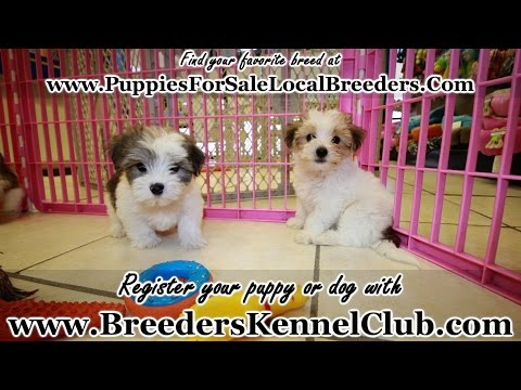 Morkie, Puppies For Sale, In Knoxville, County, Tennessee, TN, 19Breeders, Murfreesboro, Jackson