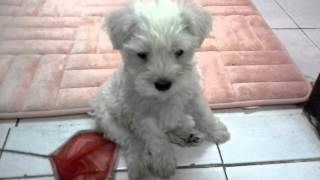 White Miniature Schnauzer Puppy Named Cotton