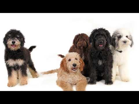 5 Dog Picture Challenge - Goldendoodle Puppies