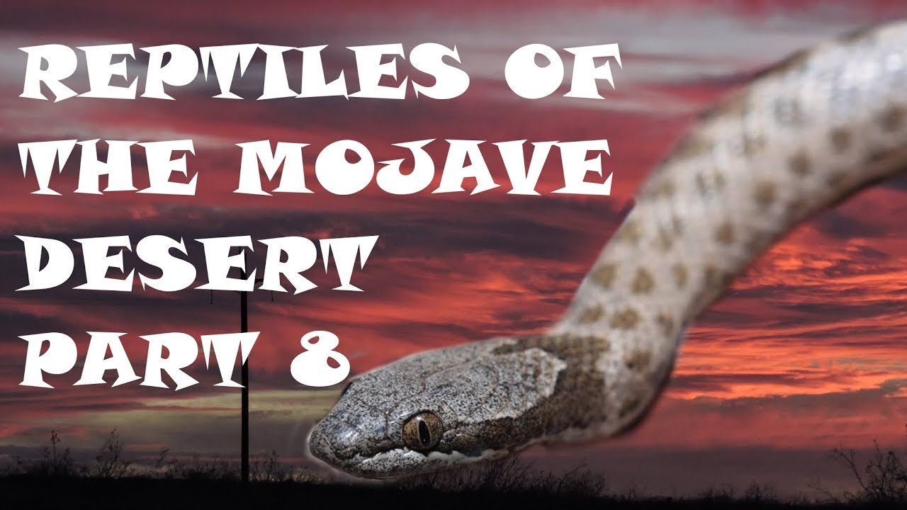 reptiles of the mojave desert part 8 the desert night snake youtube