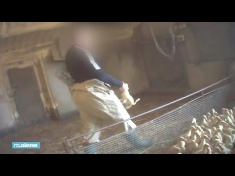 Schokkende beelden: eenden mishandeld - RTL NIEUWS