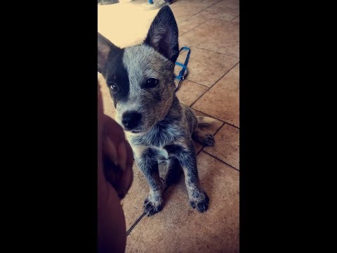 Buster the australian cattle dog puppy working on his down commands