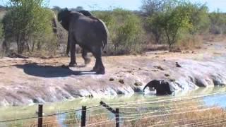 Herd of elephants rescue calf from waterhole
