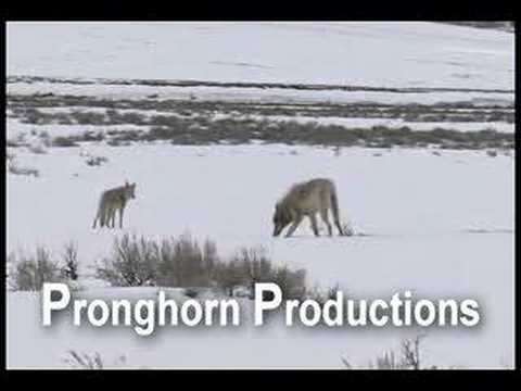 Wolf and Coyote Walking Together at Yellowstone NP