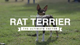 ALL ABOUT RAT TERRIERS: THE ULTIMATE RATTER!