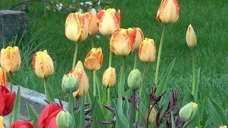 Наш сад и огород, весна 2015, цветы, деревья и другие жители :-)(Видео в саду с цветами, грядками, деревьями и собаками. Если понравится - подписывайтесь, ставьте лайки!..., 2015-05-03T19:51:56.000Z)