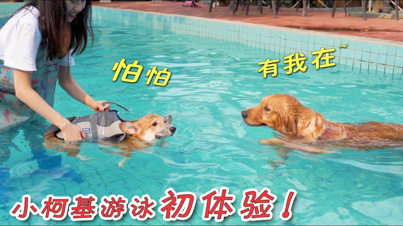 小柯基第一次游泳,有大金毛作示范,果然勇气爆表!