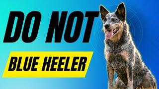 7 Reasons you SHOULD NOT get a Blue Heeler (Australian Cattle Dog)