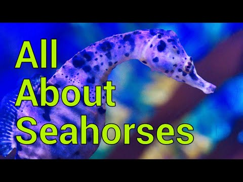 All About Seahorses - Tank Setup, Feeding, Care And More!