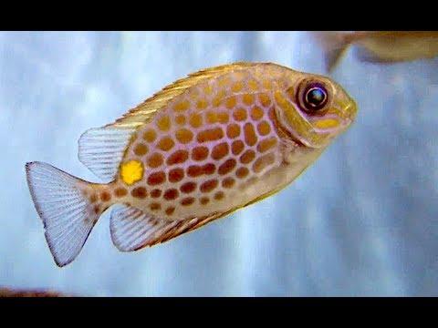 ゴマアイゴ Orange-spotted Spinefoot,Rabbitfish, Rabbit-faced Spinefoot Siganus Guttatus