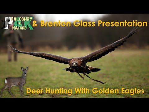 Deer Hunting With Golden Eagles | Brenton Glass & Pak Falconry