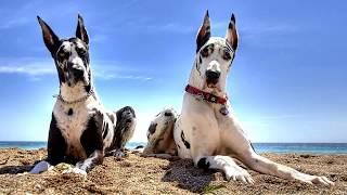 Немецкий дог (Great Dane) - порода собак