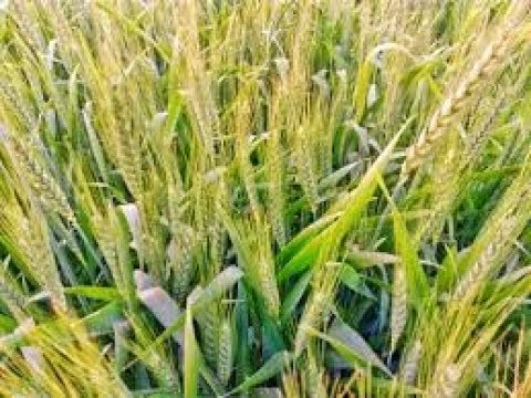 You Can be a Profit Making Farmer in Wheat Farming-ಗೋಧಿ
