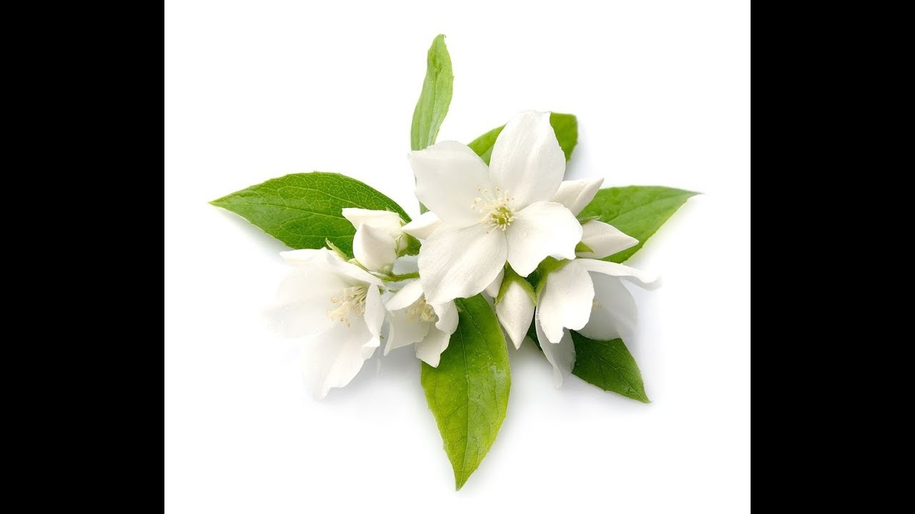 Jasmine Essential Oil Youtube