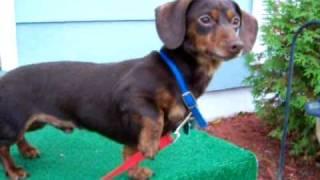 Mini Dachshund Barking