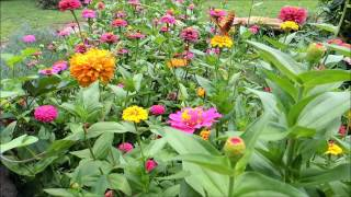 Plant a cutting garden of Zinnias for next year!