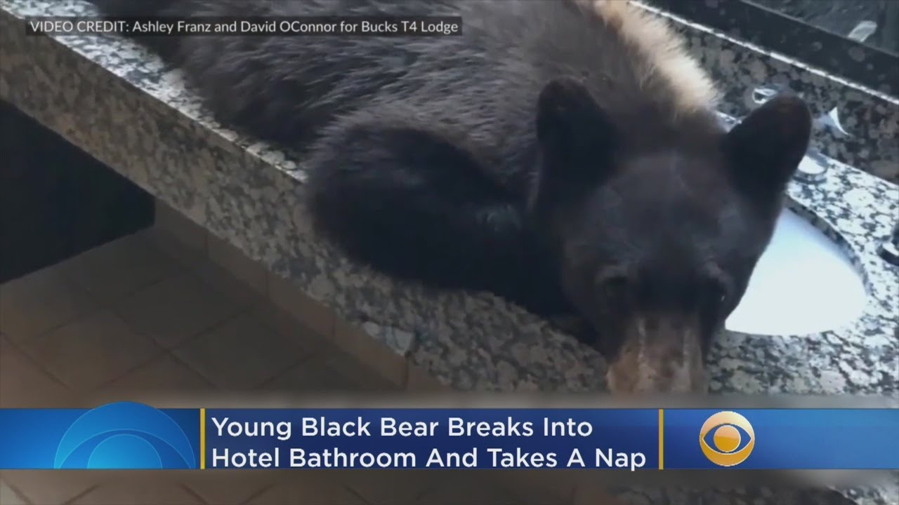 Young Black Bear Breaks Into Hotel