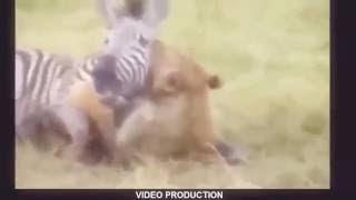 最も驚くべき野生動物の攻撃ライオンはハイエナを殺します!カメラでキ...