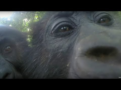 Gorillas React To Their Reflection - Gorilla Family and Me - BBC Earth