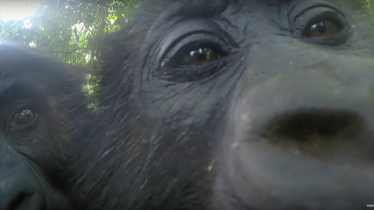 Mirror Mirror: Gorillas React To Their Reflection | Gorilla Family and Me | BBC Earth
