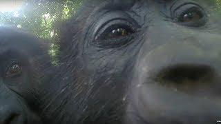 Gorillas React To Their Reflection - Gorilla Family and Me - BBC Earth thumbnail