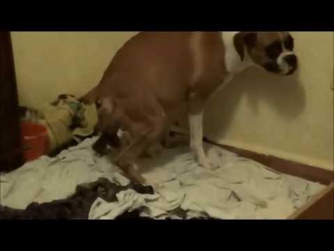 Perros Boxer (Parto de Soja principio y final!)