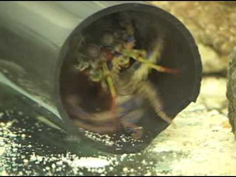 Peacock Mantis Shrimp kills Blue-ringed Octopus