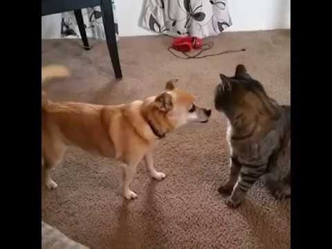 Dog and cat conflict and ridiculous positions among them  The mouse defeats the cat