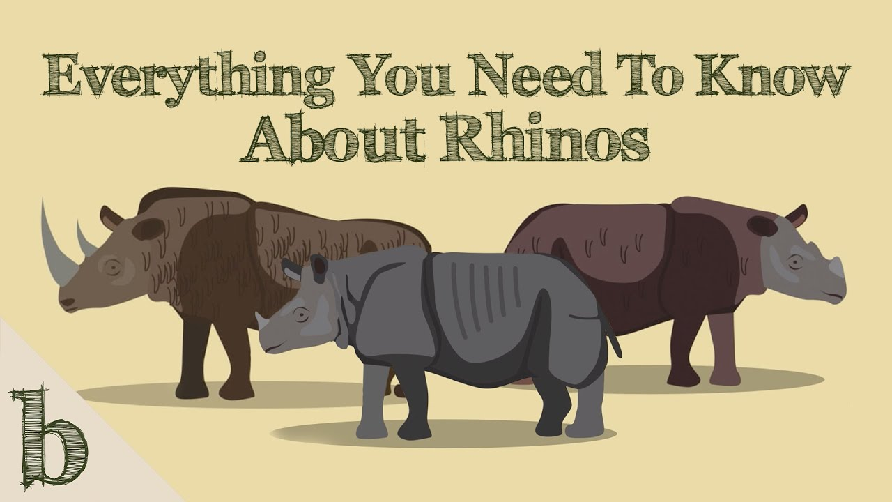 Everything You Need To Know About Rhinos   Wildlife Animation