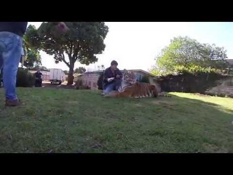 Taking pictures with tiger Brazil  - Tirando fotos com um tigre no Brasil