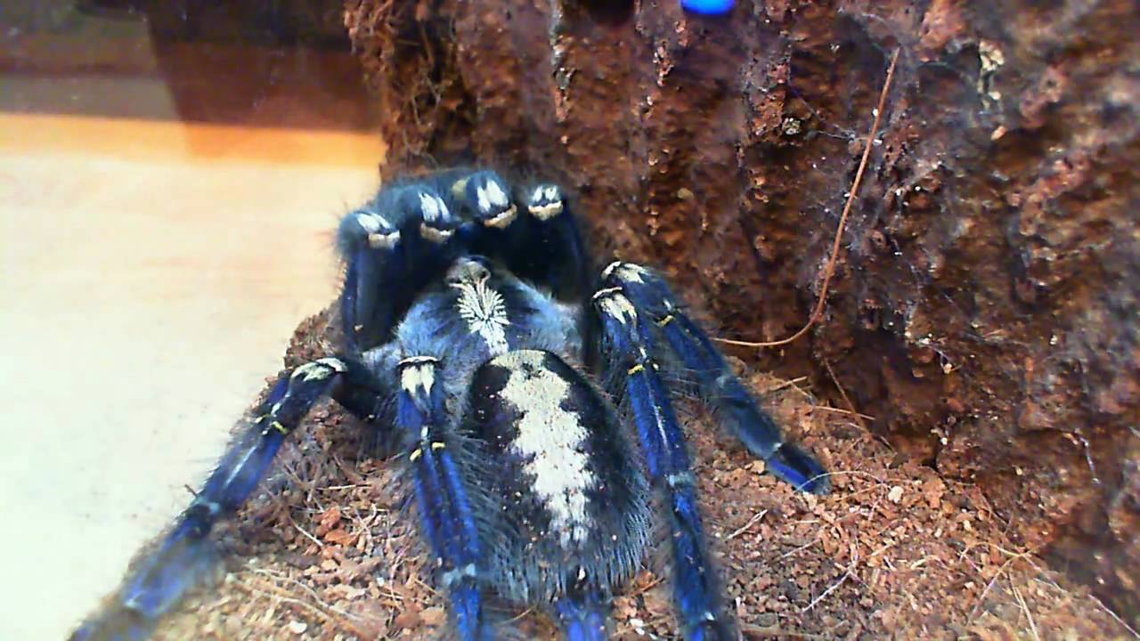 Is not every day that one buy a Poecilotheria metallica Gooty .