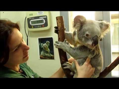 Un dia como cuidador de Koalas en el Zoo de Madrid