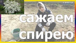 Спирея как правильно посадить как сажать спирею спирея посадка огород сад розарий цветник
