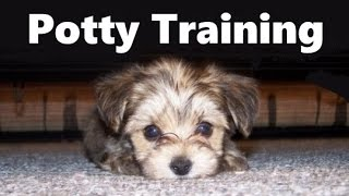 How To Potty Train A Chi Poo Puppy - ChiPoo House Training Tips - Housebreaking Chi Poo Puppies Fast