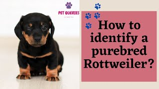 How to identify a purebred rottweiler?  