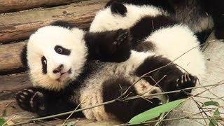 Panda babies vs Keeper  対決!パンダの赤ちゃんvs飼育員
