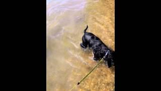 English Cocker Spaniel Is Swimming