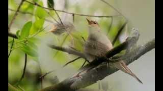 Голоса птиц в природе. 1-2 утро в лесу   ,The song of birds.
