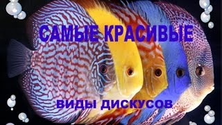 Самые красивые Элитные виды дискусов. WORLD DISCUS FISH EXCHANCE(Самые красивые Элитные виды дискусов. в данный момент дикие виды дискусов гораздо менее распространены,..., 2016-08-11T16:26:31.000Z)