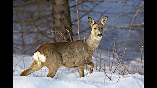 Как охотиться на косулю по следу зимой? Советы бывалЫх охотников!