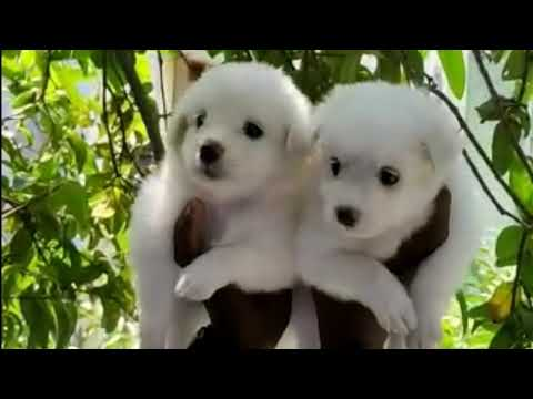 Heavy Bond Dogs Sale in Chennai | Dog Videos | Chennai Videos |  Puppy Dogs | Dogs Lovers | Animals.