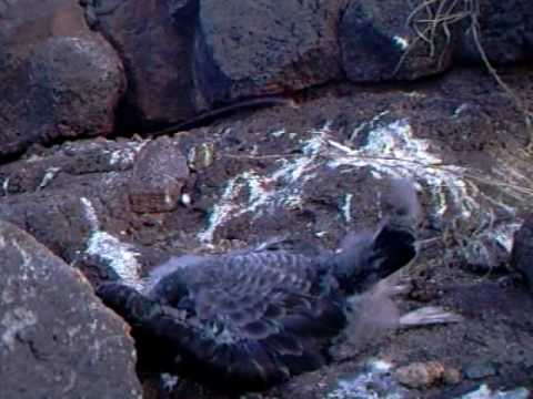The slaughter of Cape Verde Shearwaters