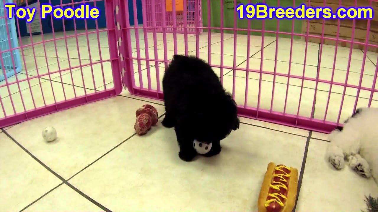 Toy Poodle, Puppies, For, Sale, In, Kearney, Nebraska, NE, Fremont, Hastings
