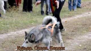 Хаски и лайки участвовали в собачьих бегах в Бердске