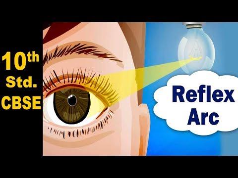 Reflex Arc | 10th Std | Science | CBSE | Home Revise