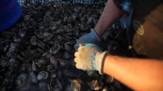 New Jersey oyster farmer rebounds from devastating storm