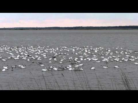 Snow geese Flock Forsythe National Wildlife Refuge
